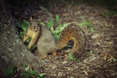 Squirrel, Cantigny Park. 84 (EOS) (Mr. Mega-Magpie) Tags: canon eos 60d nature wildlife squirrel tree cantigny park wheaton dupage il illinois usa america