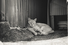 猫 (fumi*23) Tags: ilce7rm3 sony sel55f18z 55mm sonnartfe55mmf18za a7r3 animal alley ねこ 猫 ソニー cat chat gato neko bw monochrome blackandwhite