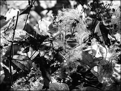 PA260236-B_fl - herbstwien (II) (gemischtersatz) Tags: kahlenberg wienxix österreich austria mirrorless mft olympus mzuiko olympusem10iii mzuiko1240mmf28pro herbst laub viennabw noiretblanc