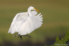 Air Brake Check (Great Egret) (Mitch Vanbeekum Photography) Tags: greategret inflight flying flight fly ardeaalba egret green nj newjersey oceancity mitchvanbeekum mitchvanbeekumcom canon14teleconvertermkiii canoneos1dx canonef500mmf4lisiiusm