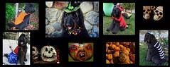 HALLOWEEN BENNI (Bennilover) Tags: dog dogs dogsincostumes benni bennigirl skeleton diadelosmuertos halloween jackolantern pumpkins holiday skull costumes halloweendogcostumes halloweencollage