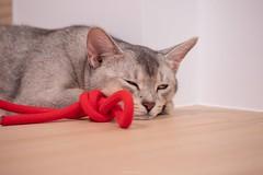 20190710_09_LR (enno7898) Tags: panasonic lumix lumixg9 dcg9 xvario vario 35100mm f28 cat abyssinian pet