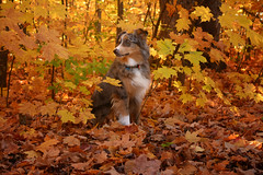 Blending In (flashfix) Tags: october262019 2019inphotos flashfix flashfixphotography ottawa ontario canada nikond7100 40mm sock dog canine animal pet austrailanshepherd triaustrailanshepherd bluemerle tricolour heterochromia familytime portrait leaves nature autumn