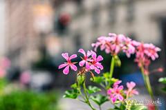 Flowers (Karlgoro1) Tags: sony alpha a7r ii mirrorless digital camera ilce7rm2 sonnar t fe 55mm f18 za lens sel55f18z new york street road city buildings windows architecture building manhattan 5518 flowers