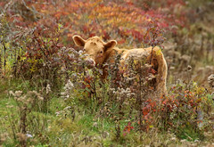 Cutie In The Weeds (Diane Marshman) Tags: cow large farm animal young brown tan fur fall autumn foliage color colors goldenrod brush weeds pa pennsylvania nature grass rural setting season red orange green