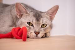 20190710_11_LR (enno7898) Tags: panasonic lumix lumixg9 dcg9 xvario vario 35100mm f28 cat abyssinian pet