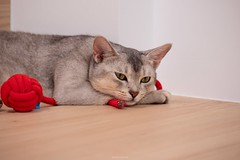 20190710_02_LR (enno7898) Tags: panasonic lumix lumixg9 dcg9 xvario vario 35100mm f28 cat abyssinian pet