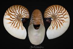 Nautilus macromphalus G. B. Sowerby II, 1849 (Gabriel Paladino Photography) Tags: nautilus molusco cefalópodo cephalopoda coleccion collection nautilidae ainmhithe állati anifeiliaid animal animale annimali anụmanụ besto bèt gabrielpaladinoibañez crustynautilus fuzzynautilus umbilicus shell species morphological nautilida ombligo animalia mollusca macromphalus newcaledonia bellybuttonnautilus
