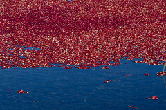Cranberries Ready for Harvest (brucetopher) Tags: cranberry red berries berry water float bog harvest floating fresh fruit cranberries pond wet fall autumn farm farming agriculture flood flooded flooding deep