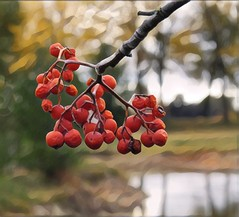 Mountain Ash Berries (scilit) Tags: berries ashtree mountainash tree branch redberries rowan food medicine liqueur water reflections trees scenery nature wildplant flora fruit autumn