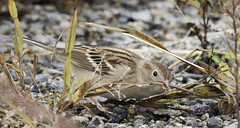 field sparrow (material guy) Tags: fieldsparrow mondaybirding plumisland parkerrivernwr newburyport massachusetts