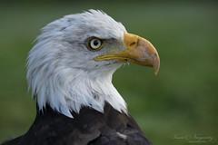 American bald eagle (Susan Newgewirtz) Tags: nikon nikond850 nikkor70200mm wildlifephotography americanbaldeagle raptor birdsofprey nature