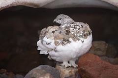 White-tailed Ptarmigan (markvcr) Tags: ptarmigan nature rainier washington bird wildlife alpine sunrays5