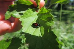Escarabajo-Beetle (Matí Matias) Tags: