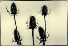 191030-1 (sz227) Tags: distel staude pflanze sz227 zackl lumixfz1000 lumix