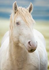 Cremello Brother (Explored) (Jami Bollschweiler Photography) Tags: cremello brother onaqui herd utah photography wildlife stallion photo