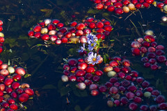 A Rising Cranberry Tide (brucetopher) Tags: cranberry red berries berry water float bog harvest floating fresh fruit cranberries pond wet fall autumn farm farming agriculture flood flooded flooding deep