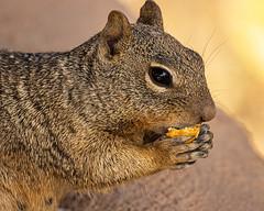Rocky and a tidbit (Stephen G Nelson) Tags: squirrel rocksquirrel desert tucson arizona
