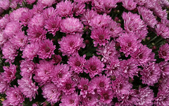 Mums (Diane Marshman) Tags: mums mum fall blooming blossoms autumn blooms dark pink flower flowers closeup pot container landscape plant annual perennial nature