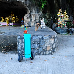 ,, First Come, First Served ,, (Jon in Thailand) Tags: dog dogs rescueddog rescueddogs dogrescue rescuedjungledogs dj angeleyes thetube jungle themonkeytemple nikon nikkor d300 175528 blue gold green red yellow black giantchicken gorilla statues thespiritcave orange littledoglaughedstories