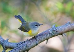 American Redstart (Jamie Lenh Photography) Tags: nature wildlife birds warblers americanredstart nikon tamron summer ontario canada