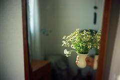 Camomile (childishToy*) Tags: flower film leica m6 summer sunlight filmphotography kodakektar100 home summicron50mm summerlight