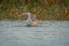 Small Reward (gseloff) Tags: forsterstern bird feeding baitfish wildlife nature water hyacinth horsepenbayou pasadena texas kayak gseloff