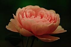 Rose (prokhorov.victor) Tags: роза цветок цветы растения флора сад природа макро