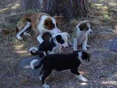 1113 Sicile Juillet 2019 - Palazzolo Acreide (paspog) Tags: palazzoloacreide chiens dogs hunde sicile sicily sicilia 2019 juli juillet july