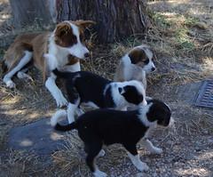 1112 Sicile Juillet 2019 - Palazzolo Acreide (paspog) Tags: palazzoloacreide chiens dogs hunde sicile sicily sicilia 2019 juli juillet july