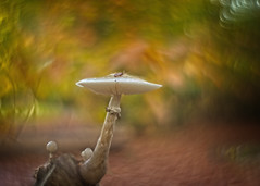 A porcellan mushroom in dark autumn colors (Roland B43) Tags: mushroom fungi porcellan wood autumn fall forest ryckevelde brugge belgium sonya7rii helios442