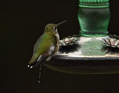 Down to a trickle - (deanrr) Tags: hummingbird waterdrops nature outdoors morgancountyalabama alabama feeder sugarandwater nectar food wildlife 2019 bird migration restarea trickle