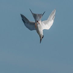 High speed diving (xrayman.dd) Tags: tern terninflight terndiving marshbirds