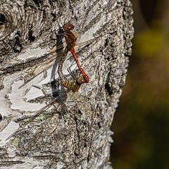 Perfect Match (*Capture the Moment*) Tags: 2019 backlight bäume dragonfly filze fotowalk inzell landschaften libellen sonya6300 sonye356318200oss sonyilce6300 trees