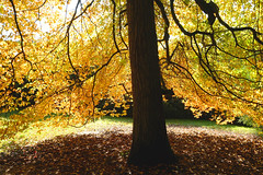 Sussex Autumn Tree... (Adam Swaine) Tags: sheffieldpark autumn autumncolours autumnviews beautiful trees leaves sunlight gardens sussex sussexgardens nature nationaltrust england english counties countryside woodland britain british adamswaine 2019 county eastsussex