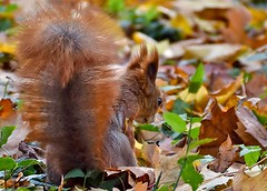 dilemma - where should I hide a nut? (adenkis) Tags: squirrel autumn park leaves nature naturephotography