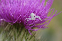 Arachtober 30. (Steviethewaspwhisperer) Tags: misumenavatia misumena vatia flowercrabspider flower crab spider spiders dorset thistle purple her