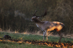 Cold Autumn Morning (andy_AHG) Tags: wildlife autumn stag fallowdeerbuck antlers animals nikond300s yorkshire ruttingseason