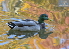 Mallard (Victoria C Martin) Tags: nature birds bird birdsofontario wildlife morning morninglight burlingtonontario grindstonecreek hendrievalley fall ontariocanada