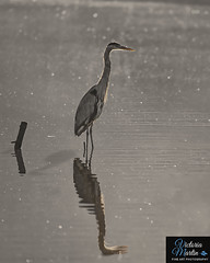Heron in the Morning Light (Victoria C Martin) Tags: nature birds bird birdsofontario wildlife morning morninglight burlingtonontario grindstonecreek hendrievalley fall ontariocanada