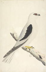 Collection 27: Drawings of birds chiefly from Australia, 1791-1792 (State Library of New South Wales collection) Tags: watercolours bird painting drawing naturalhistory australia drawings colonial early vintage