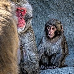 The Look (Wes Iversen) Tags: detroitzoo japanesemacaque macacafuscata michigan nikkor80400mm royaloak animalportraits animals apes babies expressions fur mammal mammals scowl snowmonkey square texture zoos