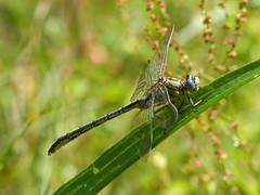 Western Clubtail - Westliche Keiljungfer (anne.w.51) Tags: dragonflies