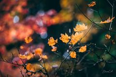 Color Season (Selectivebits) Tags: fallforliage leaves autumn portland japanesegarden naturebynikon