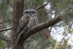 Tawny Frogmouth (Helen Cunningham) Tags: tawnyfrogmouth d850 afsnikkor300mmf4epfedvr tasmania