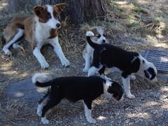1111 Sicile Juillet 2019 - Palazzolo Acreide (paspog) Tags: palazzoloacreide chiens dogs hunde sicile sicily sicilia 2019 juli juillet july
