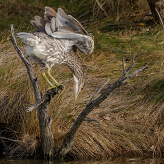 Black-Crowned Night-Heron (Kevin E Fox) Tags: blackcrownednightheron nycticoraxnycticorax galloway nj newjersey edwinbforsythenationalwildliferefuge forsythe wildlifedrive bird birding birdwatching birds birdphotography sigma150600sport sigma shorebirds shorebird nature nikond500 nikon
