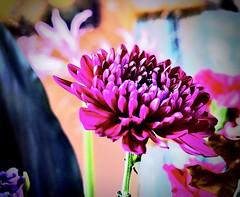 chrysant (delnaet) Tags: bloem fleur blume flower fantasticnature macrodreams chrysant flor flora