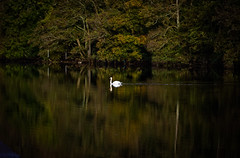 Swan lee fields (Pat Kelleher) Tags: swan leefields riverlee serenity serene tranquil tranquility peaceful landcape reflection autumn fall fallcoloiurs cork ireland discoverireland emeraldisle iralanda