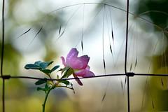 """ 2DaysBreak "" (Petra U.) Tags: rose light weekend break bokeh nikon"